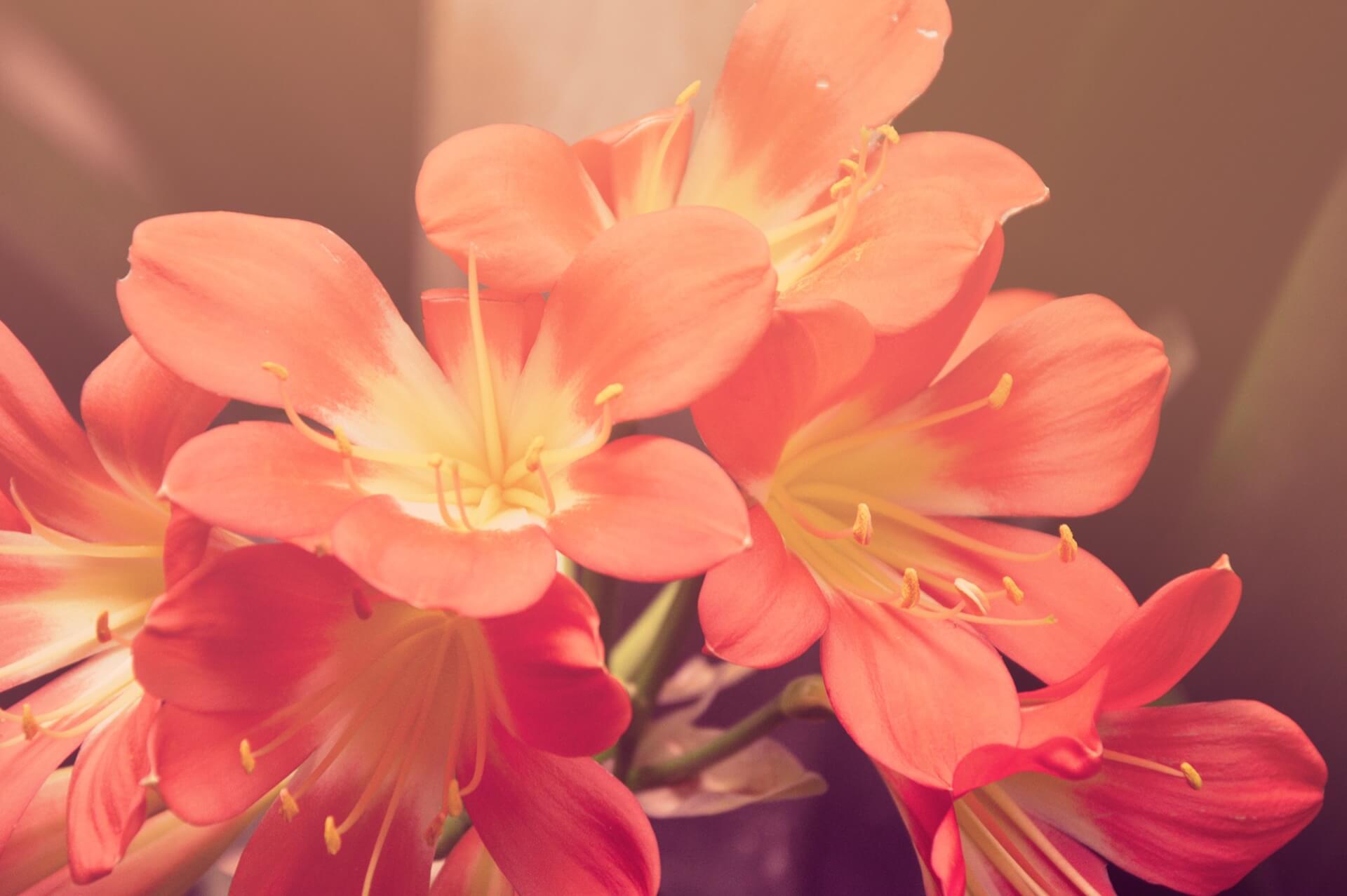 Cas Cornelissen - bloem